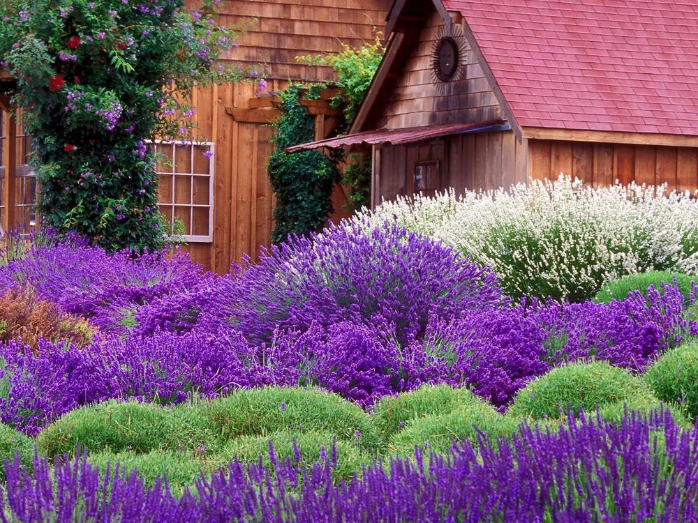 Ảnh Đồng Hoa Lavender đẹp nhất
