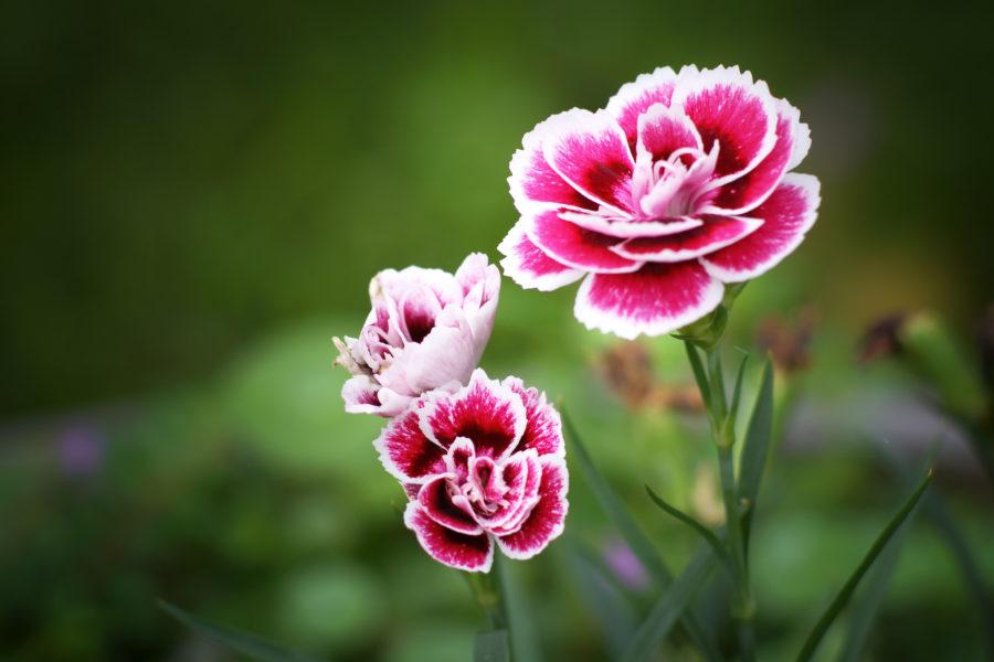 Cách bó hoa cẩm chướng như thế nào đẹp nhất