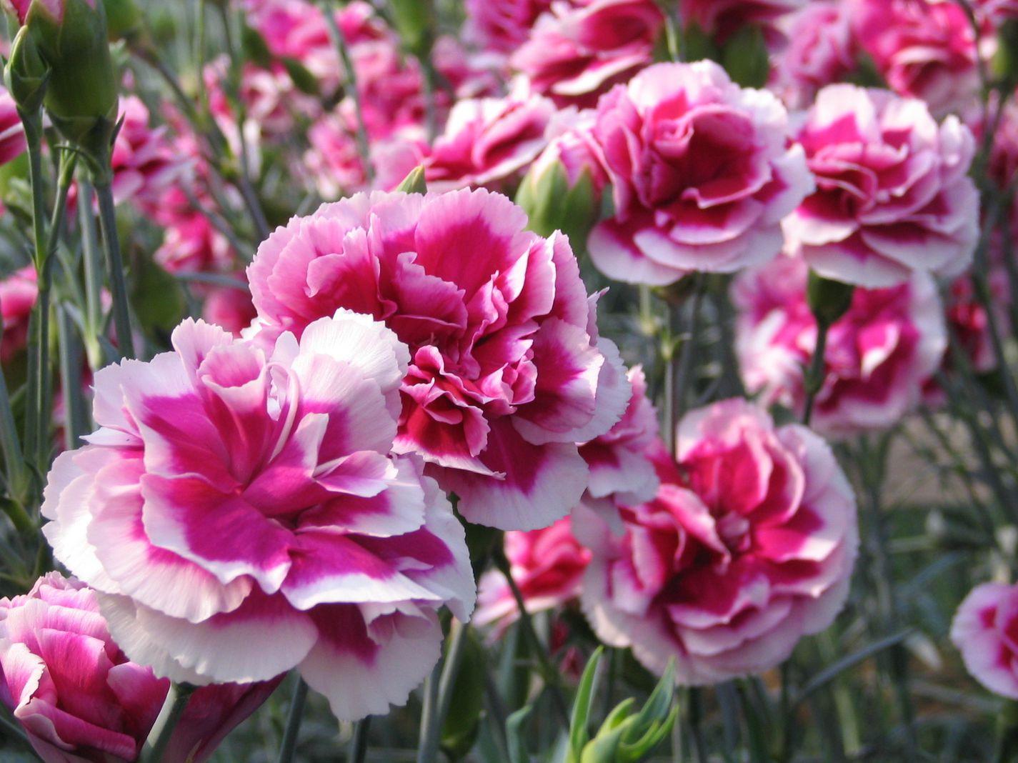 Cách chăm sóc hoa cẩm chướng