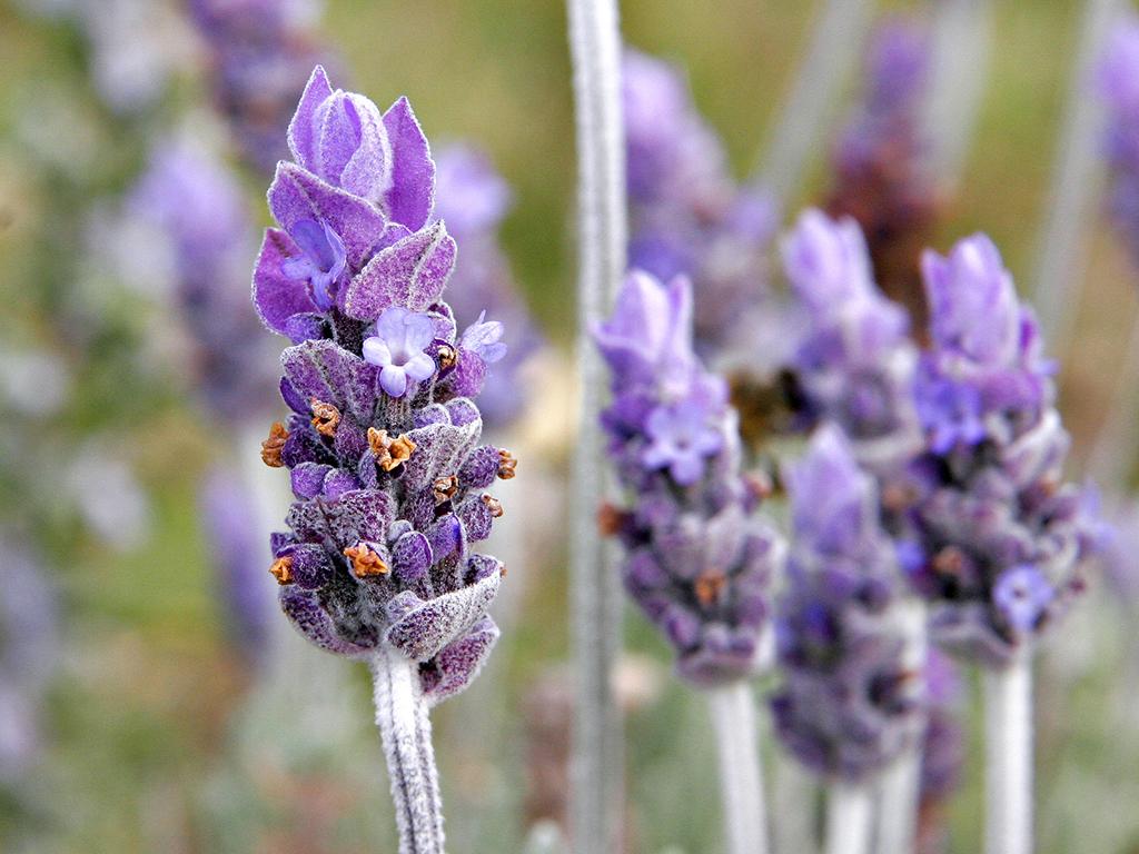 Cận cảnh hình ảnh hoa Lavender đẹp nhất