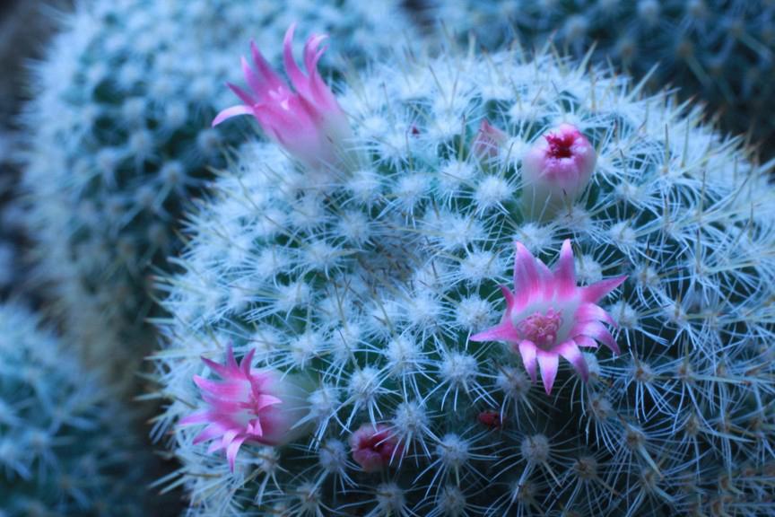 Chiêm ngưỡng vẻ đẹp của hoa xương rồng