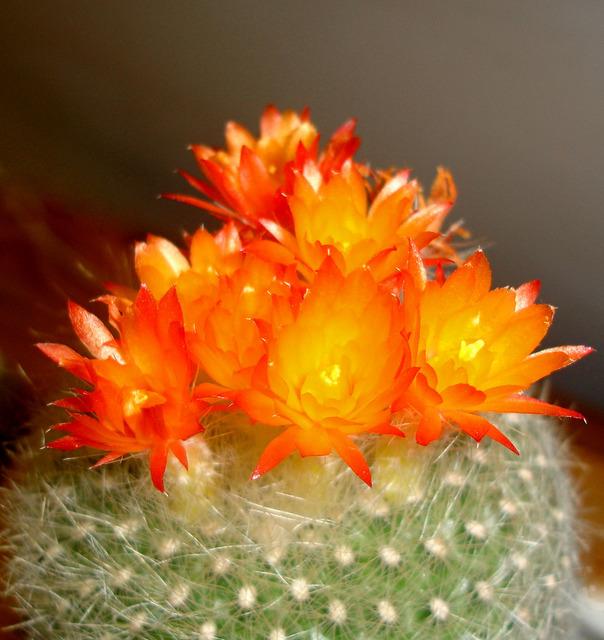 Chiêm ngưỡng vẻ đẹp thần thái của cây hoa xương rồng