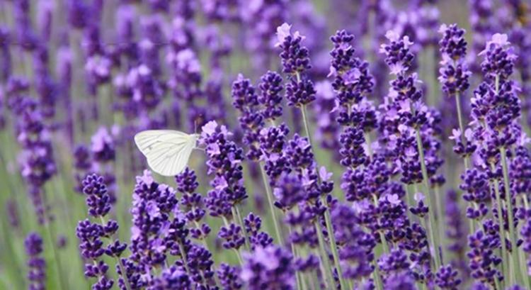 Đến Nhật bản ngắm Hoa Lavender