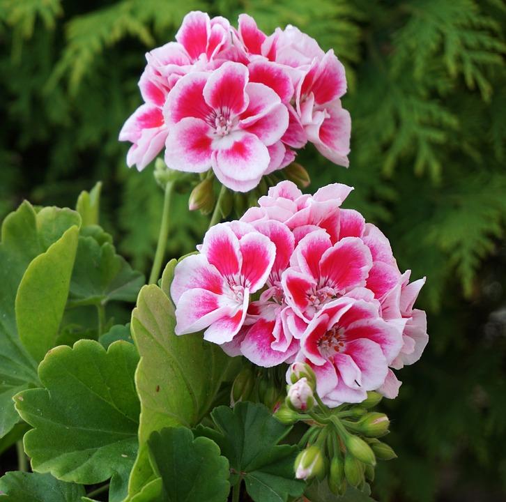Điểm danh những làng hoa Cẩm chướng đẹp nhất