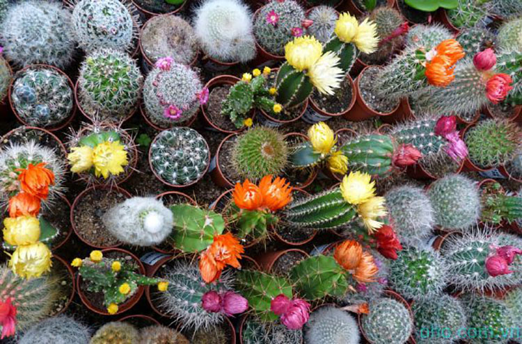 Điều cấm kị khi trồng cây hoa xương rồng trong nhahf
