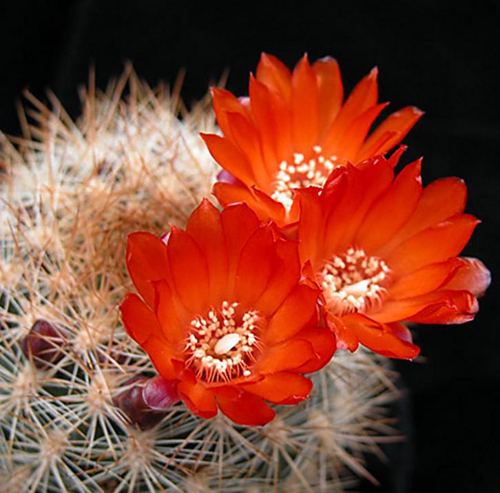 Hạt giống hoa xương rồng mua ở đâu chất lượng nhất