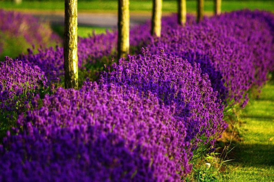 Hình ảnh cánh đồng hoa Lavender