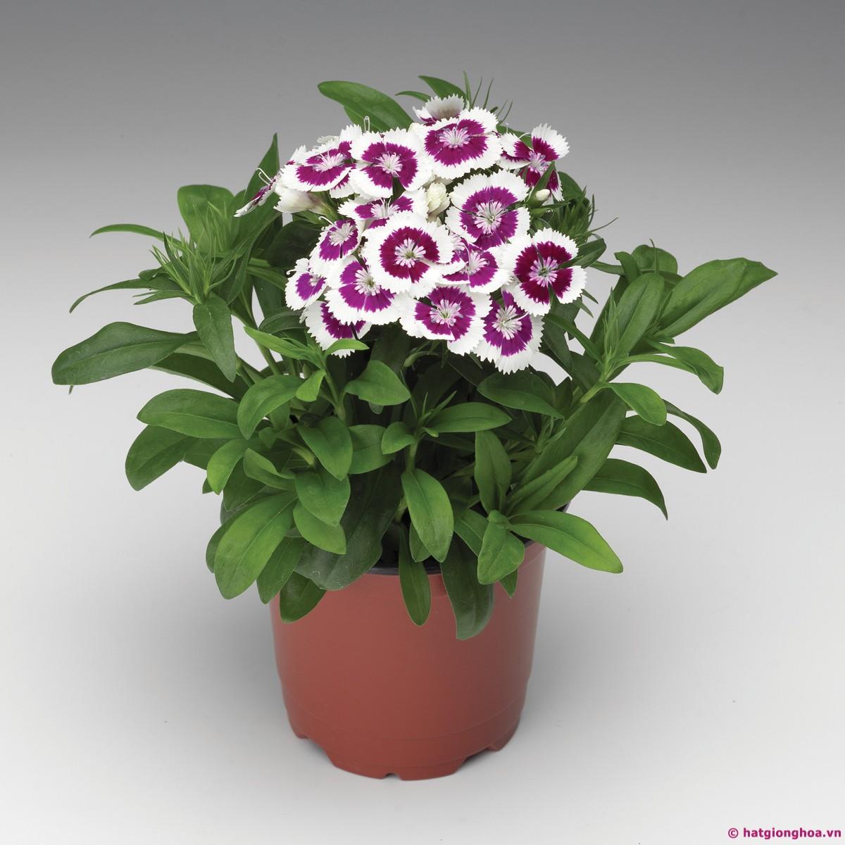 Hình ảnh chậu hoa cẩm chướng đón tết