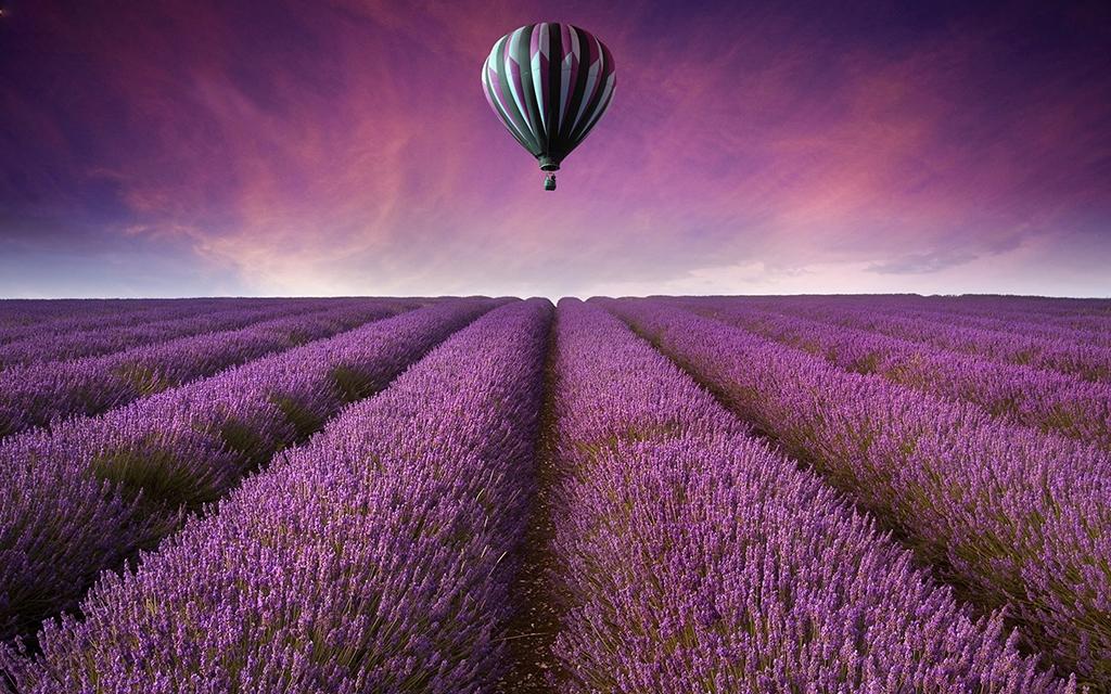 Hình ảnh chuyện tình hoa Lavender- Hoa oải hương