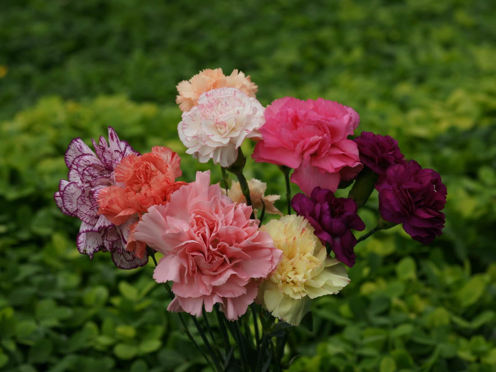 Hình ảnh đẹp về các loài hoa Cẩm chướng