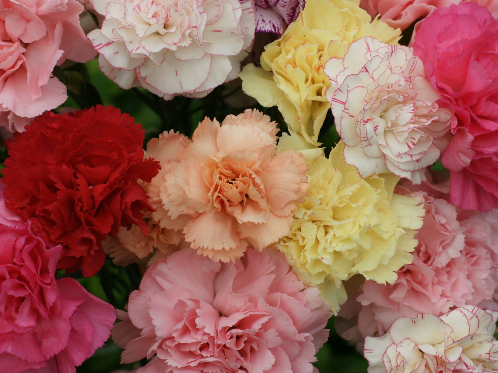Hình ảnh hoa cẩm chướng mang đầy đủ màu sắc