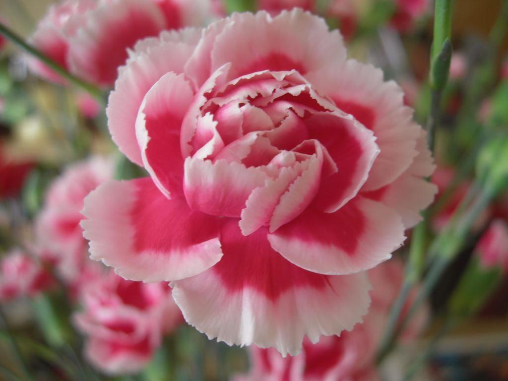 Hình ảnh hoa cẩm chướng màu hồng tặng người thân người yêu