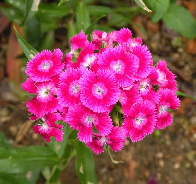 Hình ảnh hoa cẩm chướng màu hồng