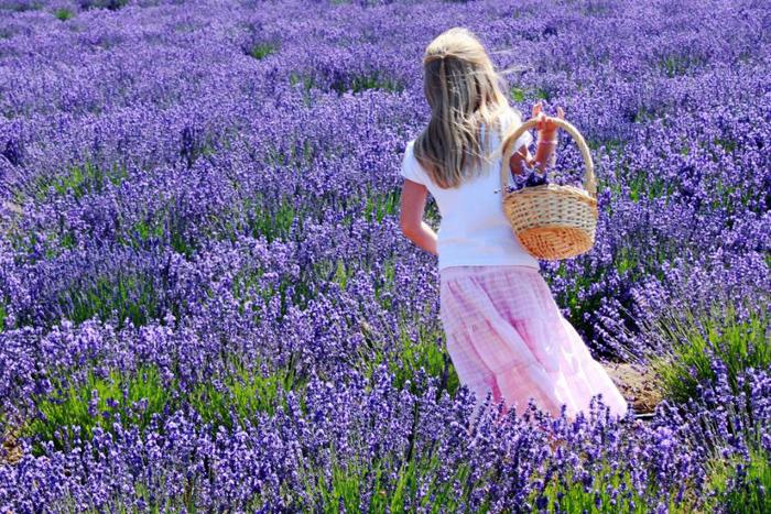 Hình ảnh Hoa Lavender (Oải Hương) đẹp nhất