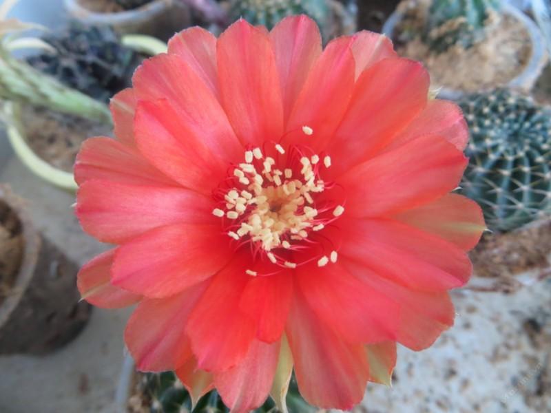 Hình ảnh hoa xương rồng đẹp nhất trên thế giới