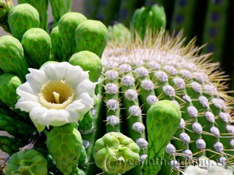 Hình ảnh hoa xương rồng đẹp nhất