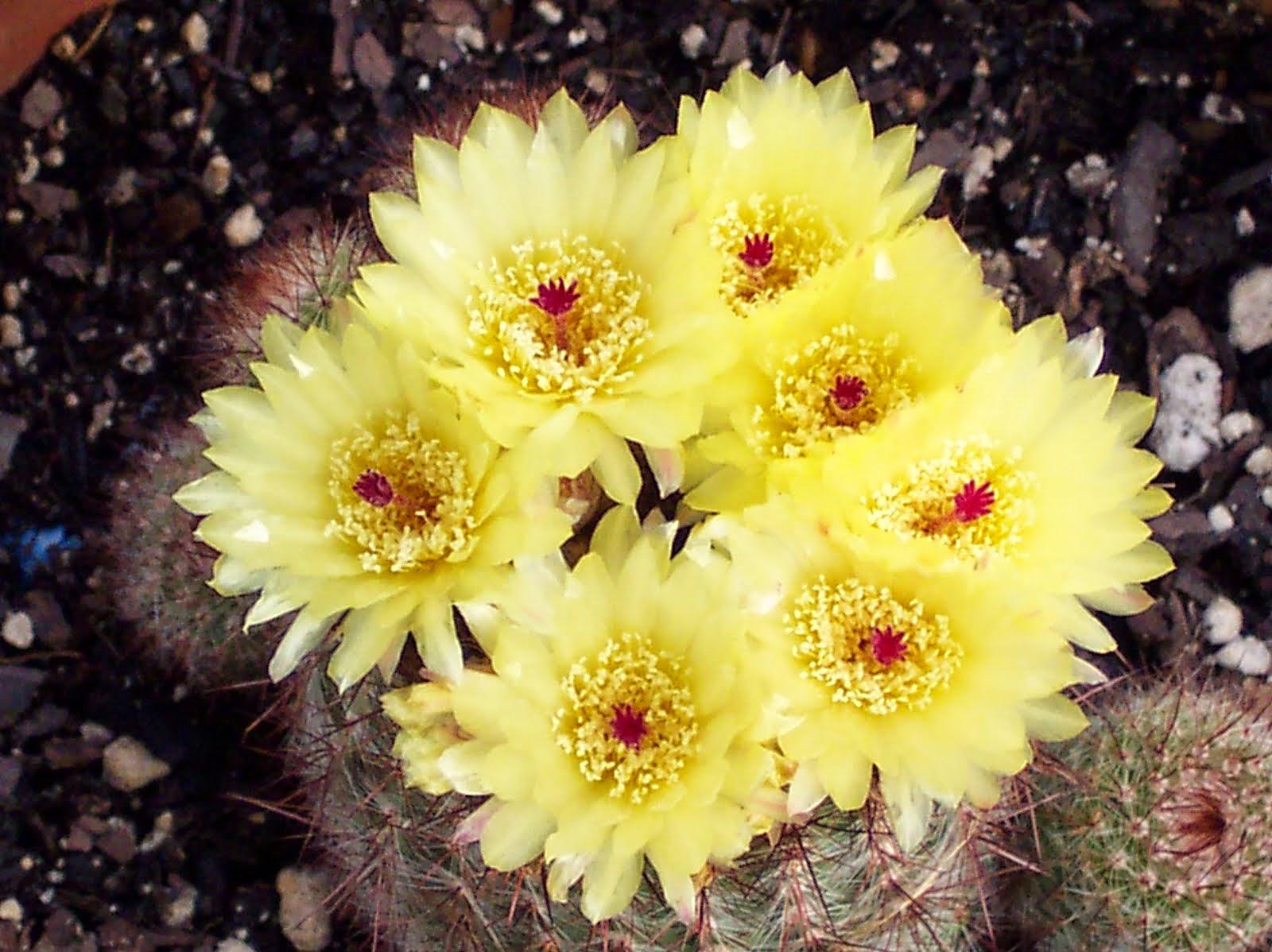 Hình ảnh hoa xương rồng màu vàng đẹp nhất