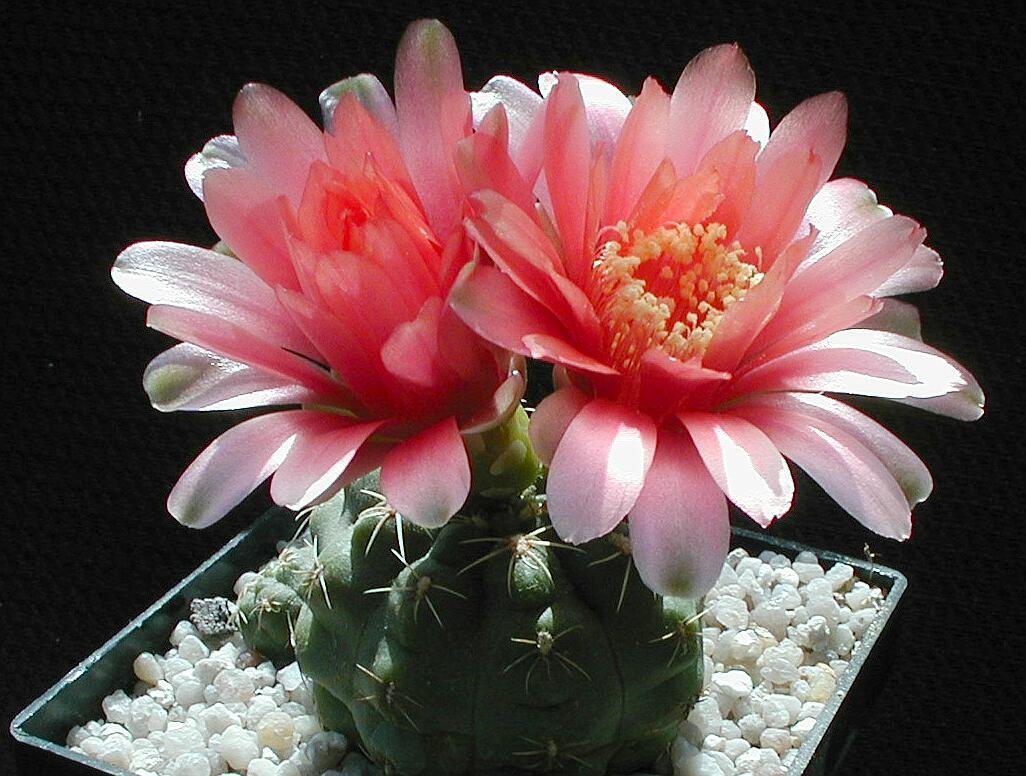 Hình ảnh hoa xương rồng nở rộ