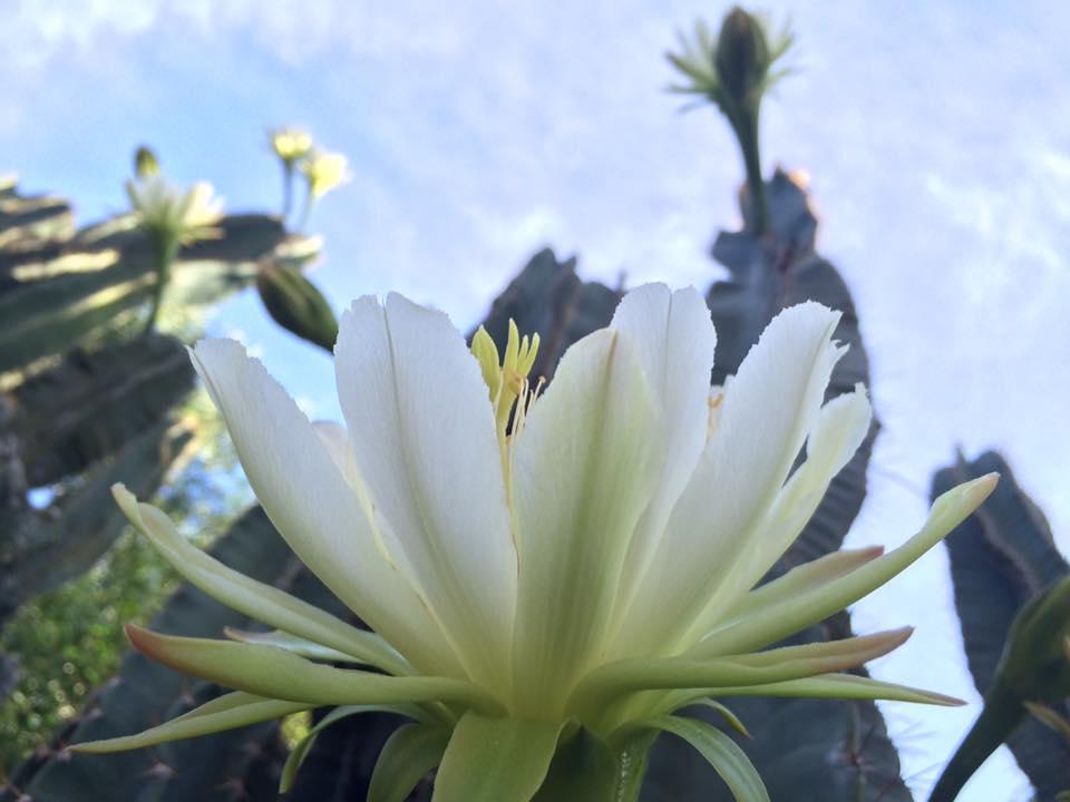 Hình ảnh mùa hoa xương rồng nở rộ