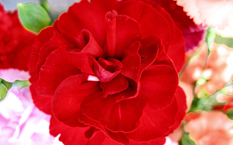 Hoa cẩm chướng bán rẻ nhất ở shop nào