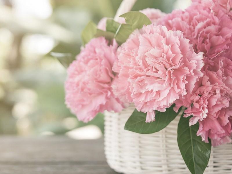 Hoa Cẩm Chướng đà lạt bán nhiều ở đâu