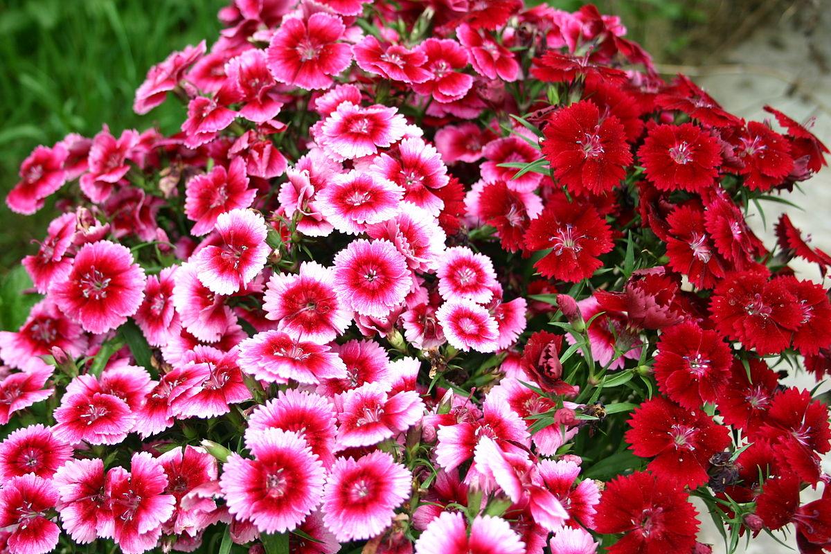 Hoa Cẩm Chướng hình ảnh đẹp nhất