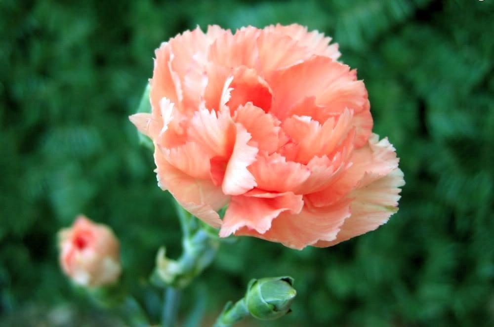 Hoa Cẩm chướng loài hoa tượng trưng cho tình yêu