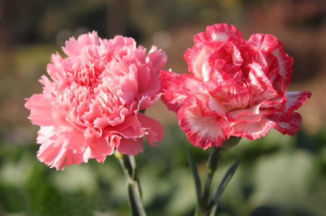 Hoa Cẩm chướng mang ý nghĩa gì