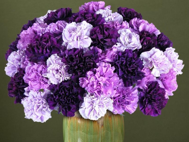 Hoa cẩm chướng tím đẹp nhất