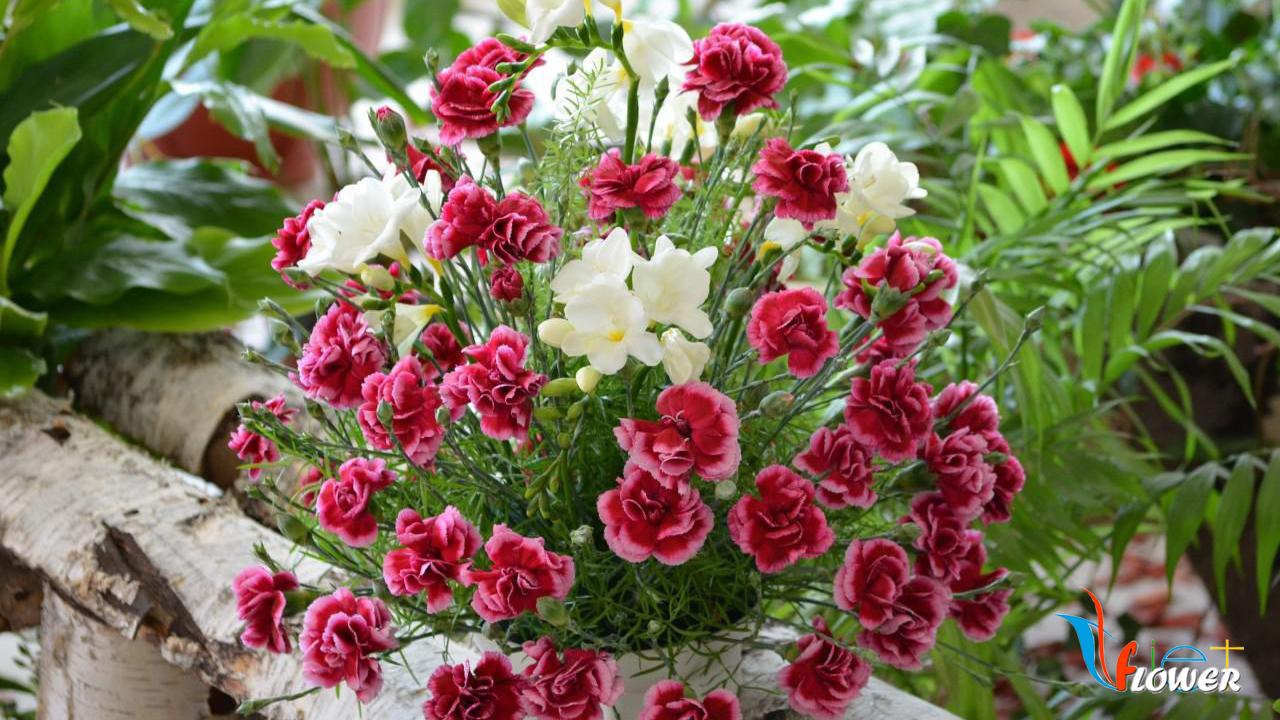 Hoa cẩm chướng trồng trong nhà đẹ nhất