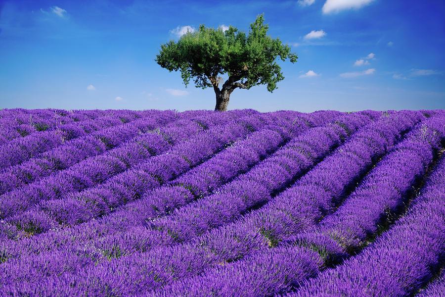 Hoa Lavender mua ở đâu rẻ nhất