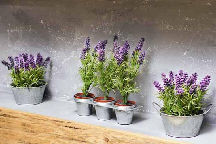 Hoa lavender trang trí trong nhà