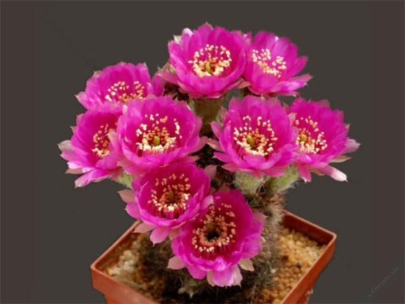Hoa xương rồng đẹp nhất hình ảnh