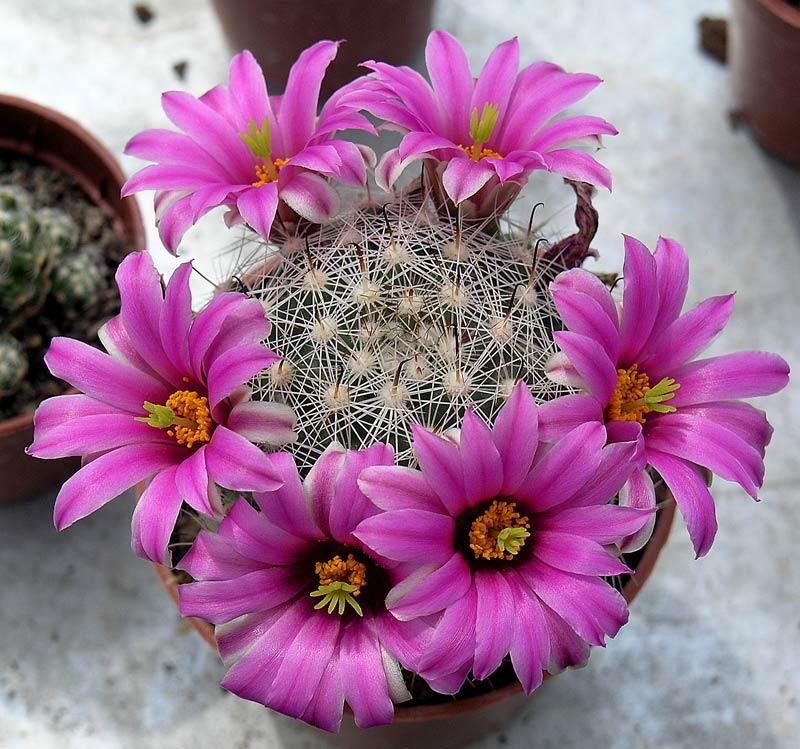 Hoa xương rồng đẹp nhất trên thế giới