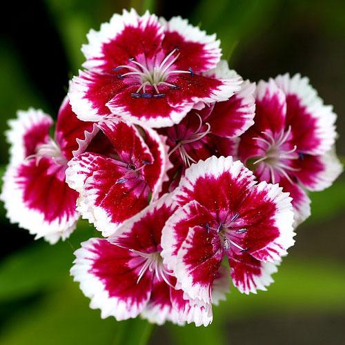 Kĩ thuật trồng hoa Cẩm chướng trong chậu