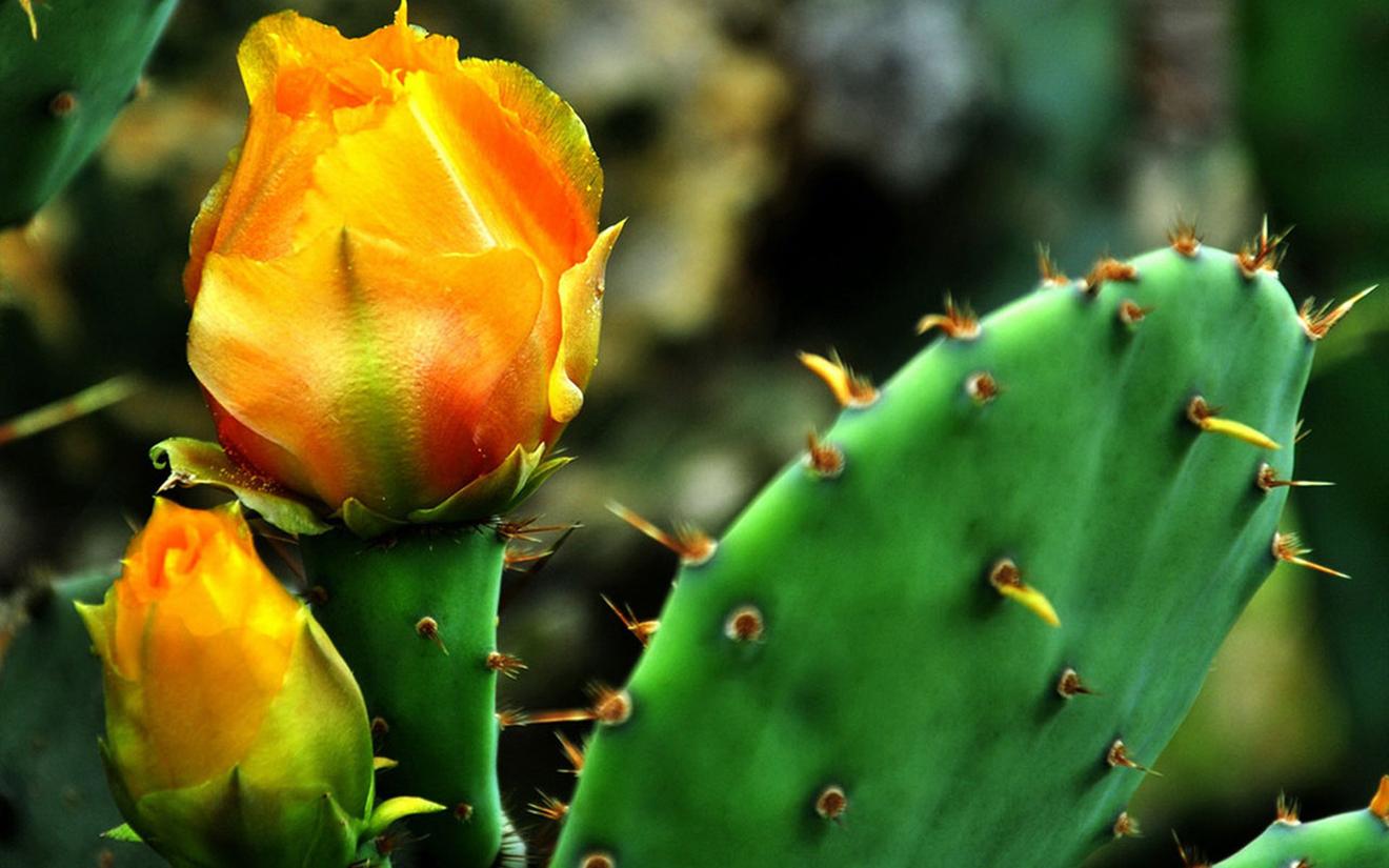 Kĩ thuật trồng xương rồng cho hoa