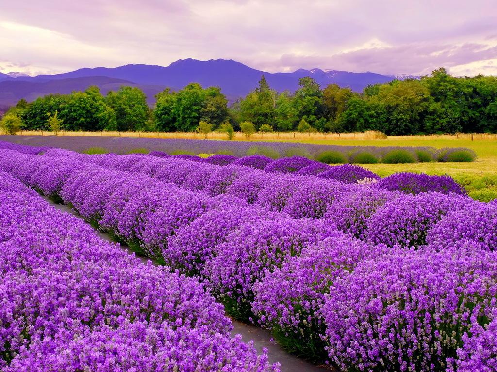 Lavender - Hoa Oải Hương đẹp nhất