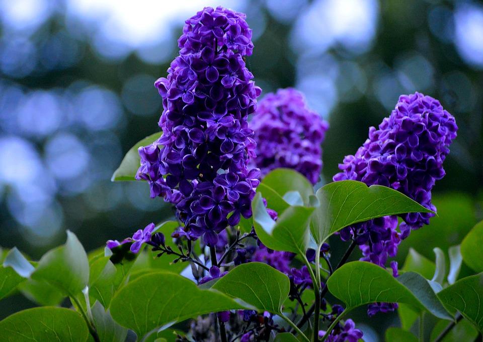 Màu tím Hoa Oải Hương thiên nhiên