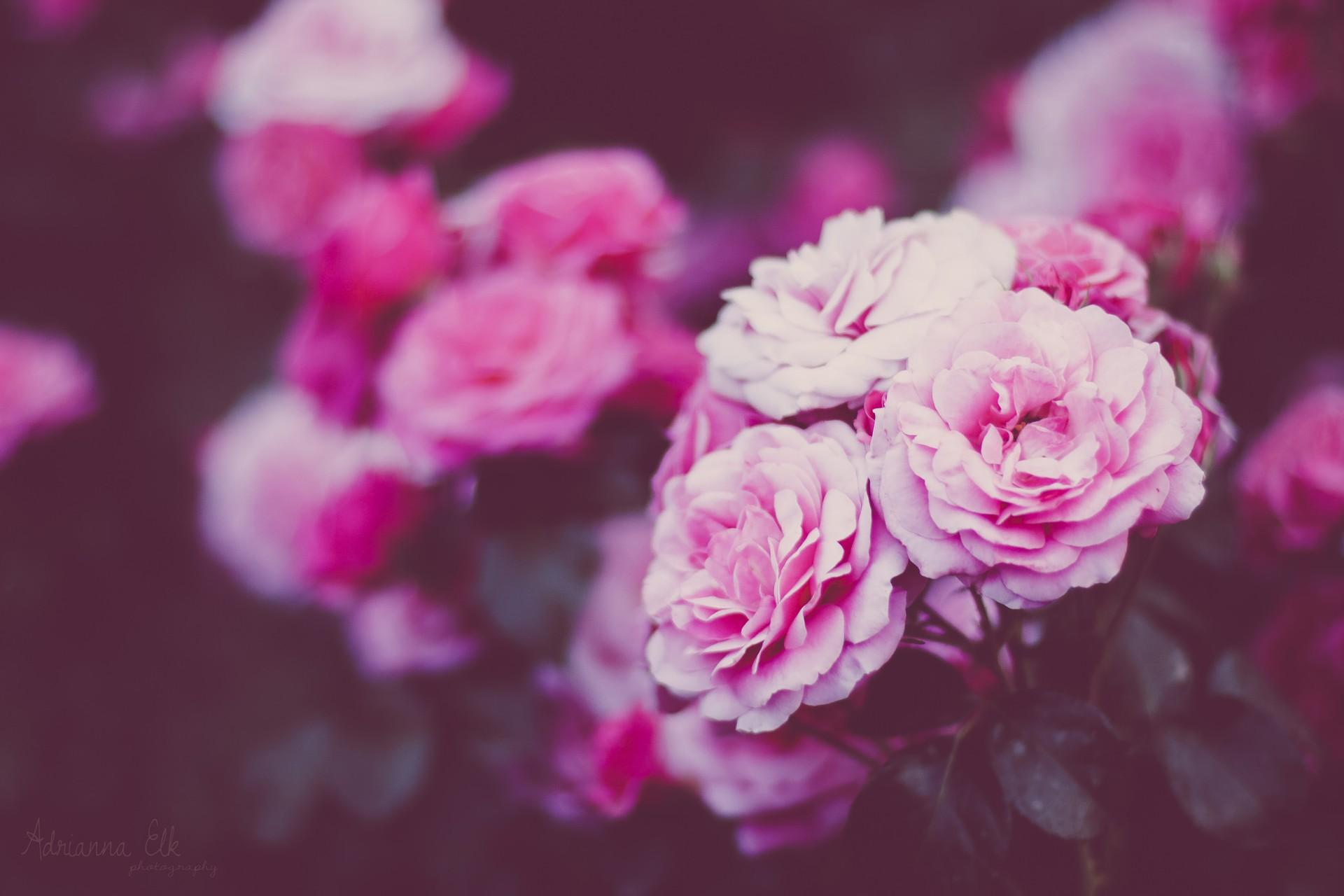 Mua hoa Cẩm Chướng ở đâu rẻ nhất