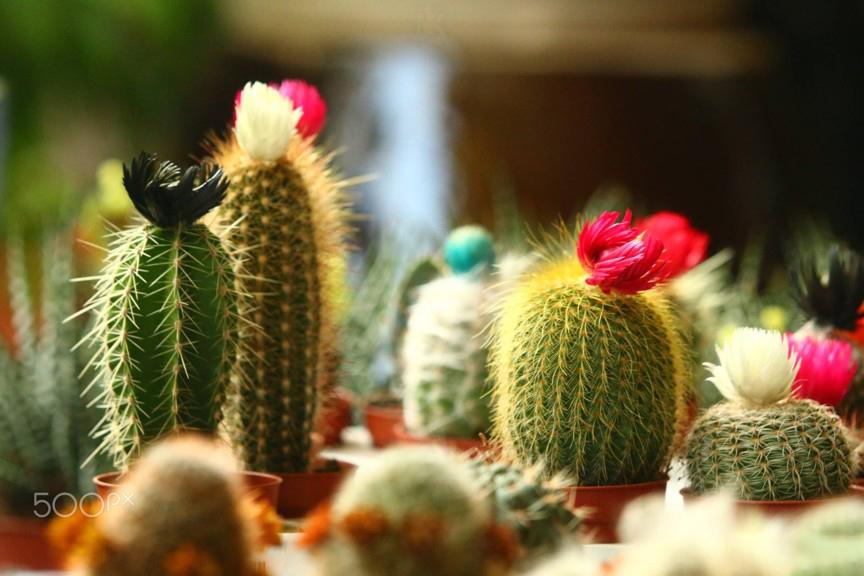 Nên chọn loại cây hoa xương rồng nào tặng bạn gái