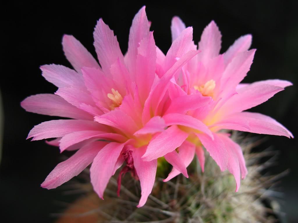 Ngắm những bông hoa xương rồng tuyệt đẹp