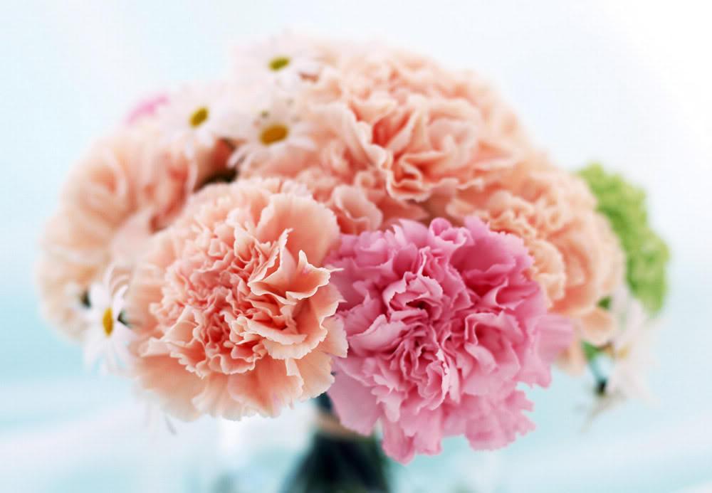 Những hình nền hoa cẩm chướng đẹp và mang nhiều ý nghĩa