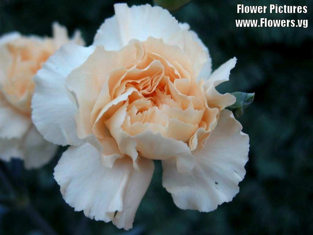 Sưu tầm những hình ảnh hoa Cẩm chướng đẹp nhất
