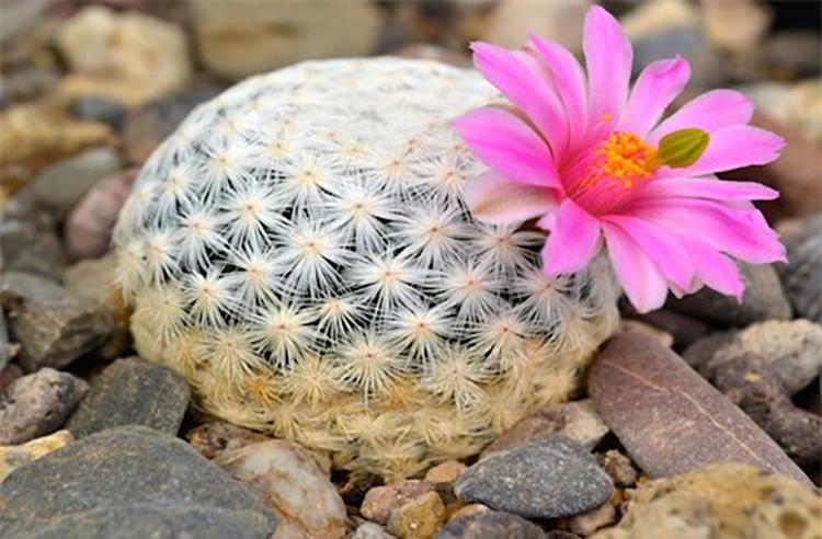 Sưu tầm những hình ảnh hoa xương rồng cực đẹp