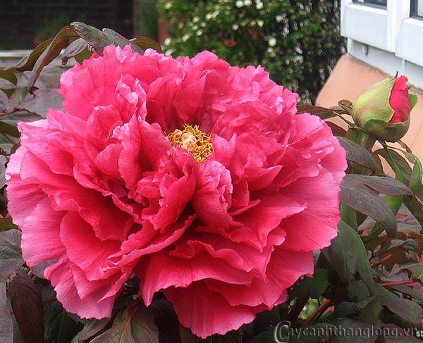 Tải hình nền hoa Cẩm chướng cho điện thoại