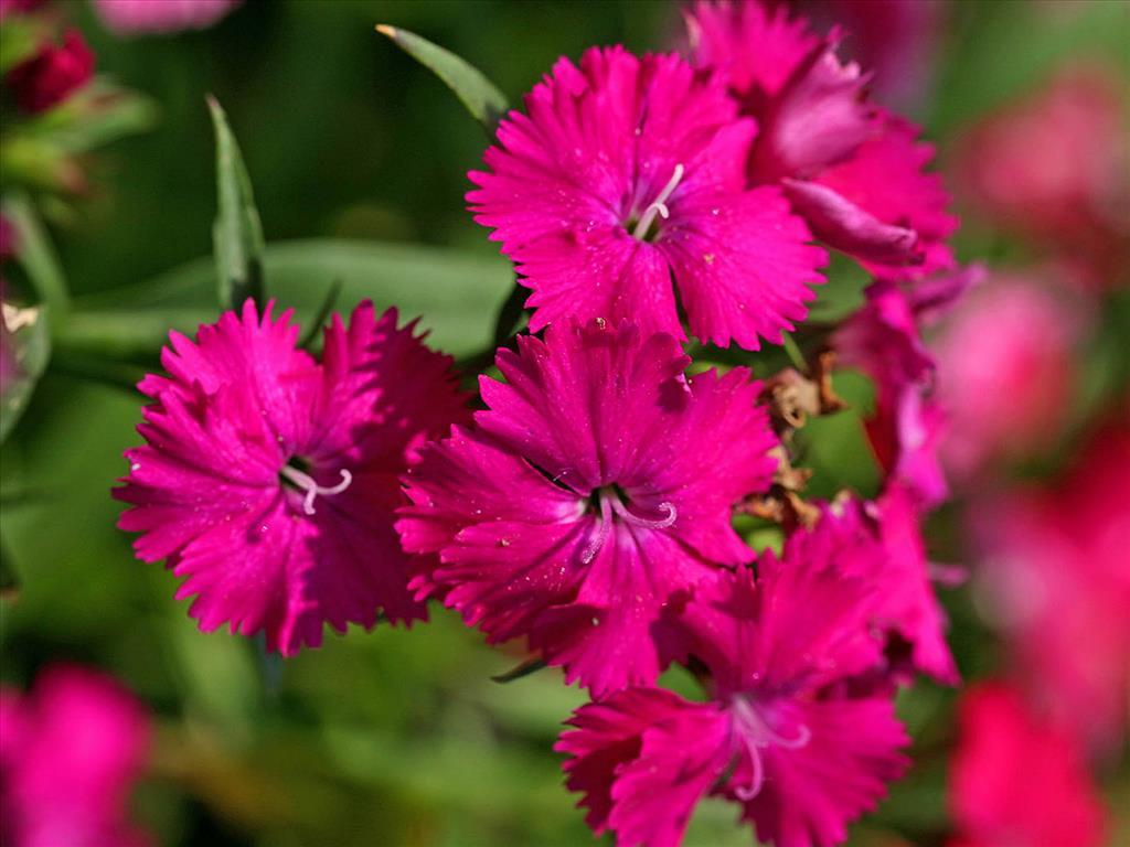 Tải những hình ảnh hoa cẩm chướng đẹp nhất cho <a href=