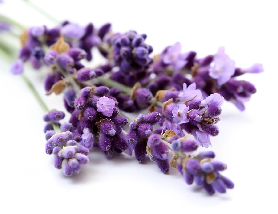 Tổng hợp những hình ảnh hoa Lavender