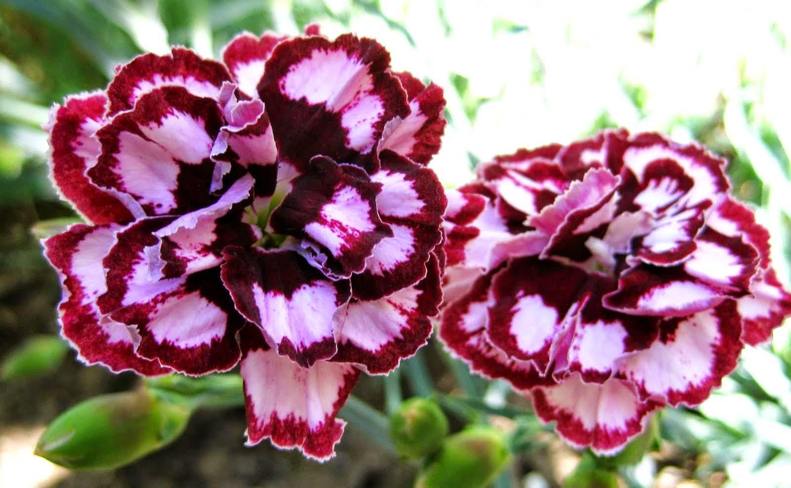 Top những hoa cẩm chướng đẹp nhất trang trí lễ cưới