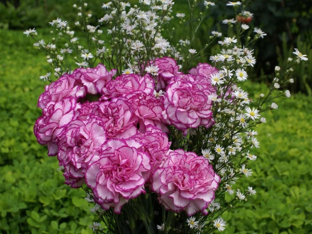 Trang trí sân vườn với cẩm chướng đẹp nhất