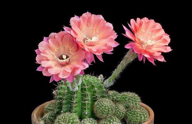 Vẻ đẹp hoa xương rồng Nam Mỹ